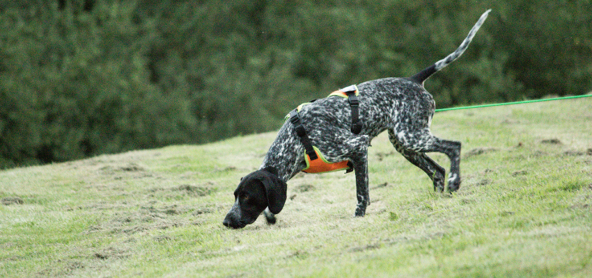 Den Jagdtrieb des Hundes nutzen: Jagdhund beim Fährtenlesen