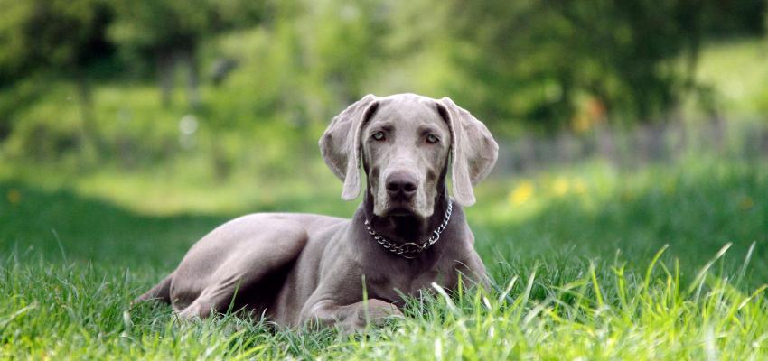 Ein Weimaraner ist ein Hund mit ausgeprägtem Jagdtrieb
