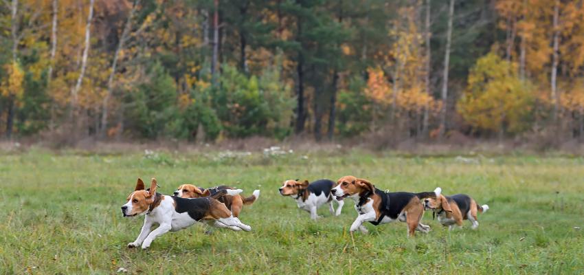 Hunde mit besonderem Jagtrieb sind Beagles