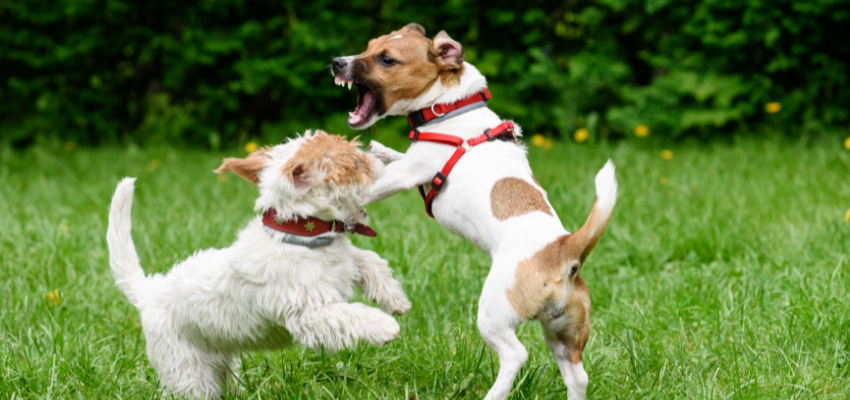 aggressive Hunde
