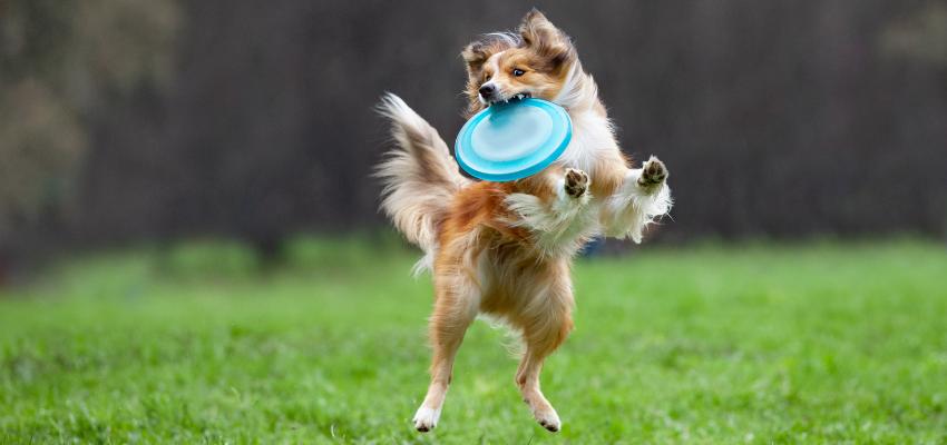 Hundesport Frisbee