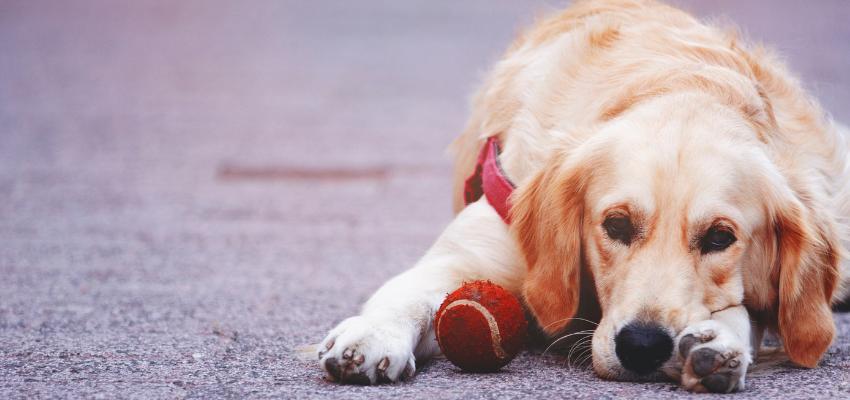 Hund gelangweilt