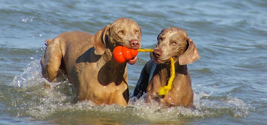 zwei Hunde apportieren